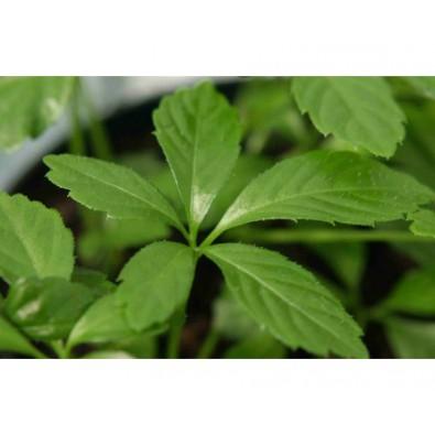 Jiaogulan - 100 g - susz do parzenia (Gynostemma pentaphyllum ) - 12 zł